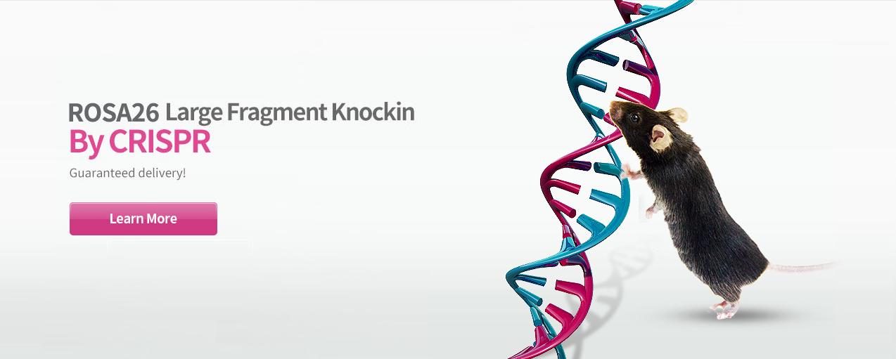 ROSA26 large fragment knockin mouse generation by CRISPR